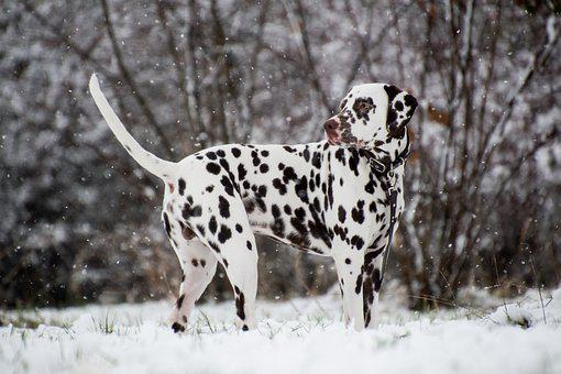 Dalmatian, Dog, Snow, Snowing, Leash, Pet, Animal