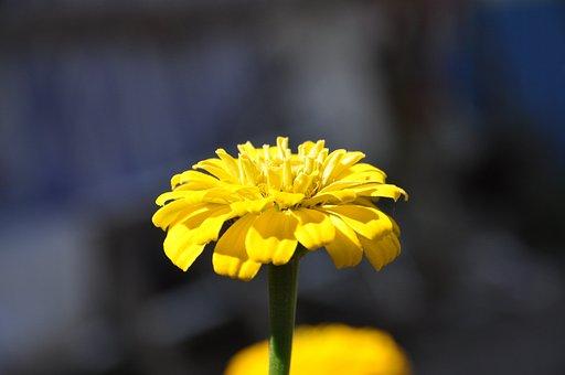 Flower, Plant, Petals, Yellow Flower