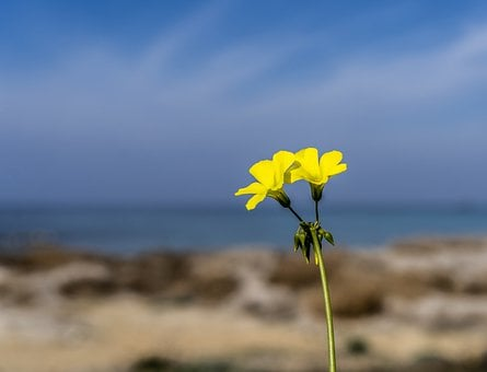 Yellow Flowers, Sea, Plant, Stem, Seascape, Blue, Sky