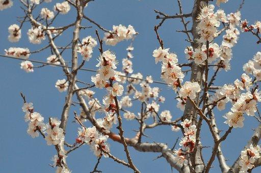 Shanxi, Apricot, Open, Gorgeous, Sky