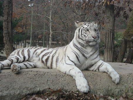 Backhoe, Tiger, Animal, White, Fur, The Bay Of Bengal