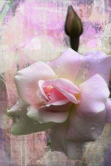 Rose, Bud, Flower, Beautiful, Plant, Macro, Pink