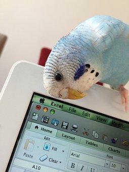 Parrot, Bird, Parakeet, Young Budgerigar, Bird On Mac