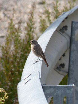 Bird, Smoked Cotxa, Black Redstart