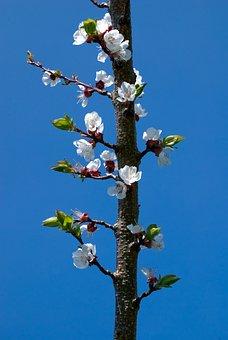 Bloom, Blossom, Bloom, Branch, Apricot, Sky, Blue