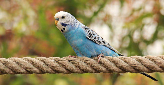 Budgie, Bird, Blue, White, Blue And White Budgie