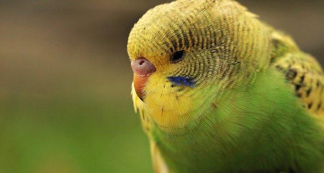 Budgie, Bird, Green, Yellow, Green And Yellow Budgie
