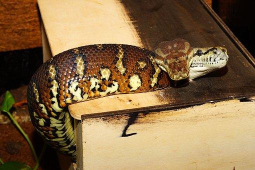 Snakes, Terrarium, Carpet Pythons, Reptile, Snake Heads