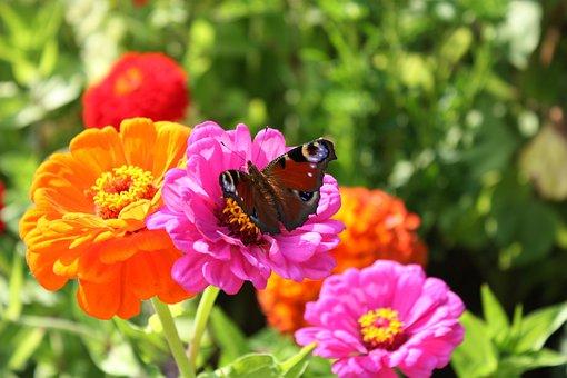 Country Garden Show, Butterfly, Close, Peacock, Eutin