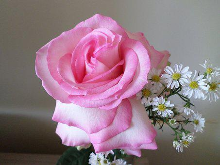 Flowers, Rosa, Nature, Beautiful, Color Pink, Simple