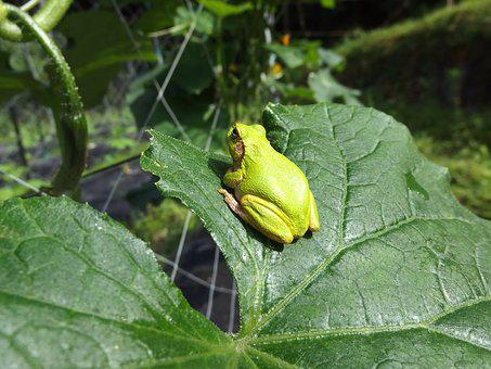 Tree Frog, Frog, Cucumber, Cute, Still