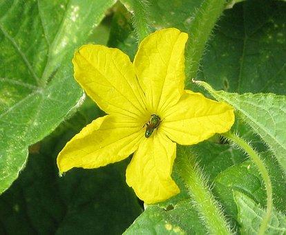 Cucumber, Domestic Cucumber, Cucumis Sativus, Flower