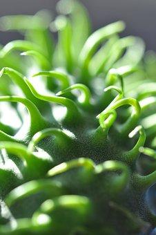 Macro, Ornamental Cucumber, Plant, Green