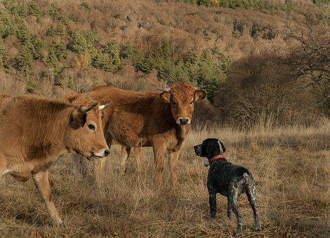 Lozère, Hunting Dog, Cows, Meeting