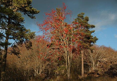 Trees, Mountain Ash, Fir, Forest