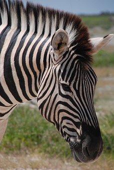 Zebra, The Horse, Animal, Pet, Horse, Pony