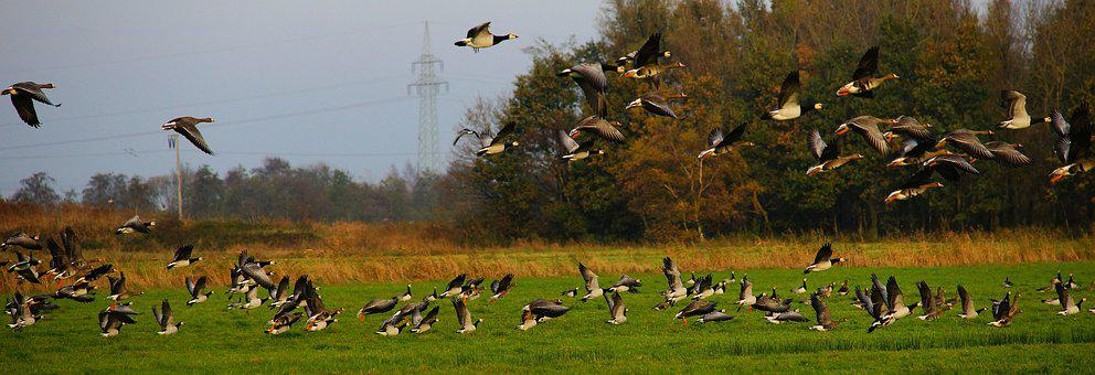Birds, Geese, Poultry, Wild Geese, Nature