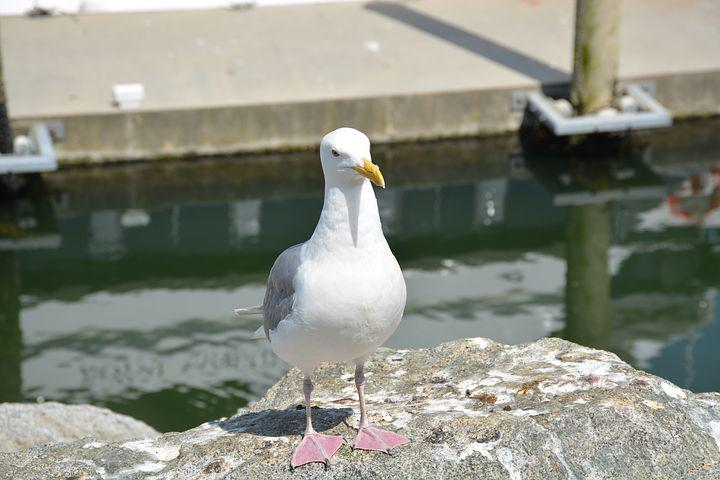 Seagull, Bird, Sea, Nature, Animal, Gull, Seabird