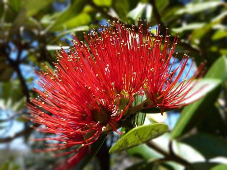 New Zealand, Potukawa, Tree, Flower, Red, Nature