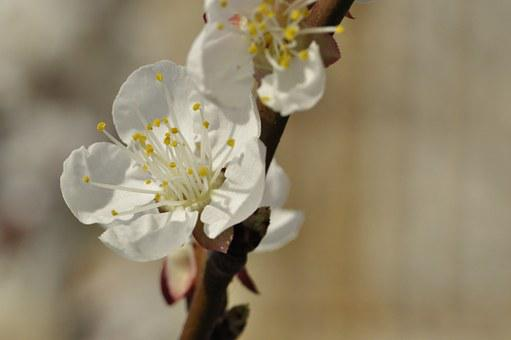 Cherry Blossoms, Apricot Blossoms, White Flowers
