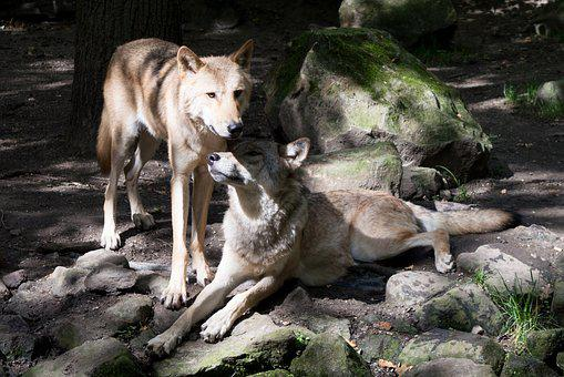 Two Wolves, Protective, Zoo, Canis Lupus, European Wolf