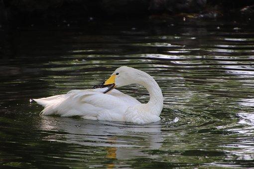 Swan, Bird, Pond, Reflection, White Swan, Water Bird