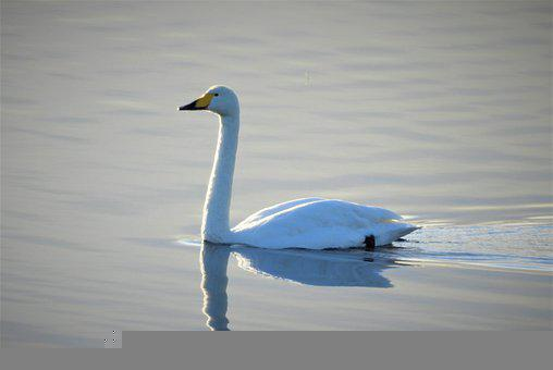 Whooper Swan, Swan, Waterfowl, Bird, Water