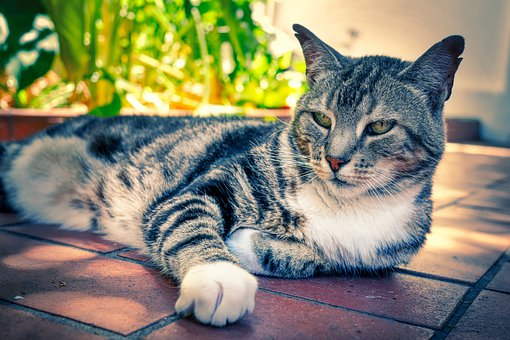 Cat, Animal, Pet, Domestic Cat, Portrait, Mammal