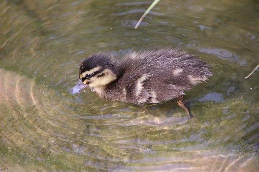 Mallard, Duck, Baby Duck, Bird, Waterfowl, Water Bird