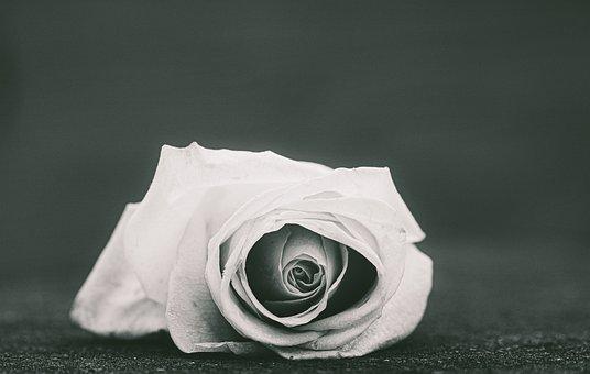Rose, White Rose, Portrait, Frozen, Mood, Melancholy