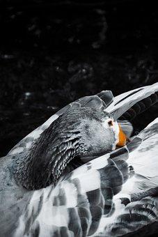 Duck, Goose, Animal, Nature, Good, Water
