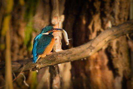 Kingfisher, Fish, Bill, Water Bird, Bird, Beak