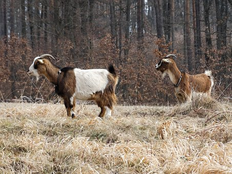 Goat, Animals, Nature, Mammal, Ruminant, Livestock