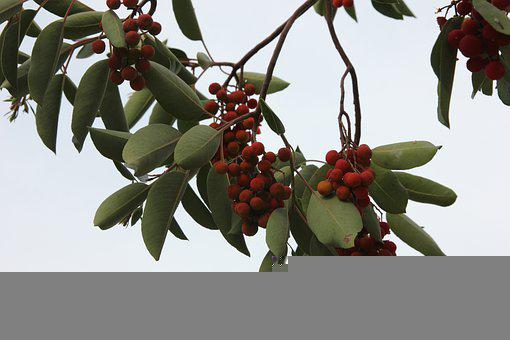 Fruit, Arbutus, Wild, Red, Sweet, Nature, Mature, Plant