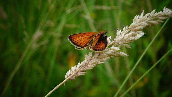 Butterfly, Insect, Nature, Animal World