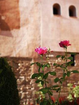 Flower, Pink, Rose, Floral, Summer, Garden, Spring
