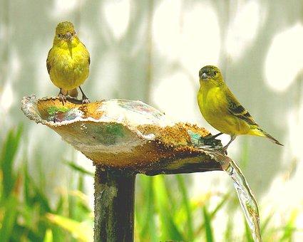 Birds, Songbird, Canaries, Nature, Garden, Fountain