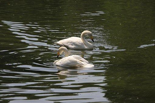 Swans, Birds, White Swans, Water Birds, Aquatic Birds