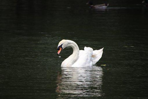 Swan, Bird, Pond, White Swan, Waterfowl, Water Bird
