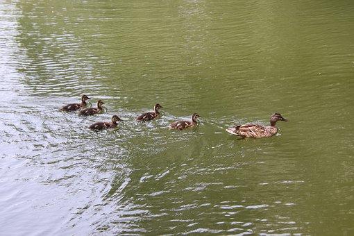 Mallard, Ducks, Baby Ducks, Birds, Waterfowl