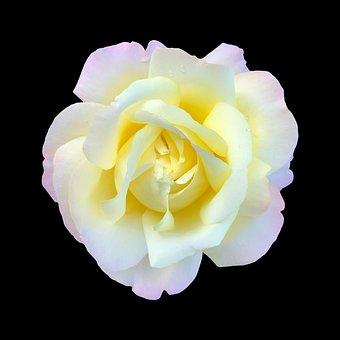 White And Gold Rose On Black, Rose, White, Golden