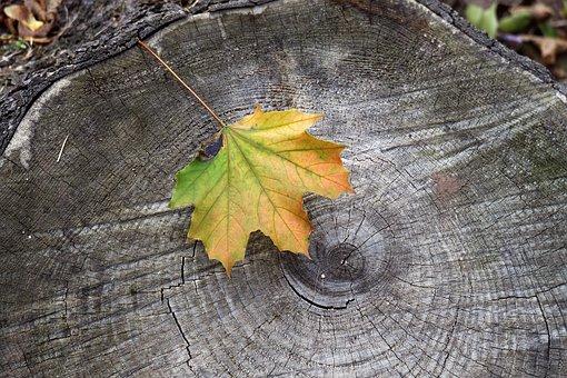Nature, Leaf, Autumn, Trunk, Tree