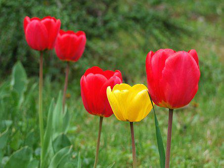 Tulip, Flower, Color, Beauty, Garden, Flowers, Nature