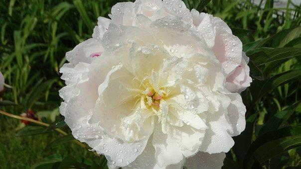 Peony White, Flower, Peony, Pentecost, White, Spring