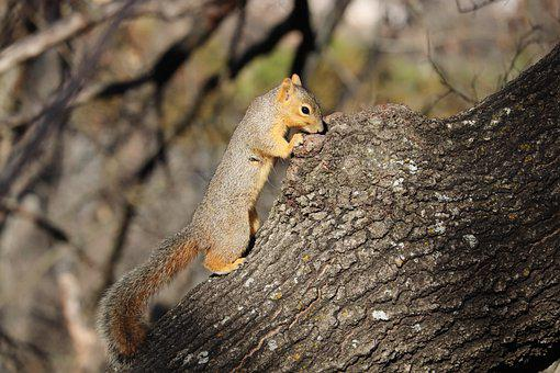 Squirrel, Rodent, Animal, Gray, Brown, Tan, Tree