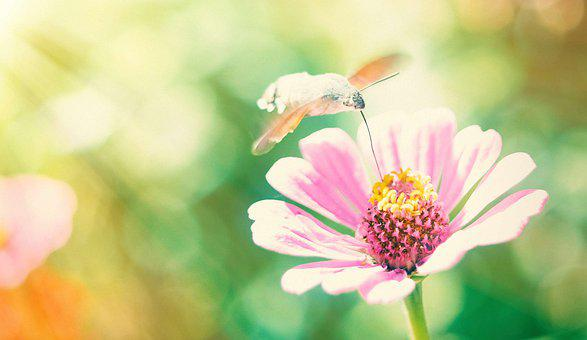 Butterfly, Hummingbird, Hawk-moth, Flower, Pink, Nature