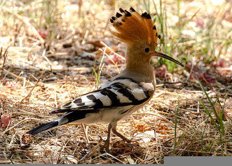 Spain, Madrid, Birding, City, Hoopoe, Mayorca, Majorca