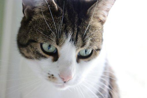 Cat, Feline, Pet, Animal, Cute, Adorable, Fur, Tabby