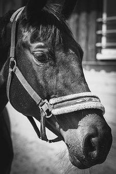 Horse, Pet, Animal, Mammal, Pony, Farm, Equine, Mane