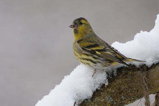 Siskins, Bird, Snow, Branch, Sitting, Little Bird